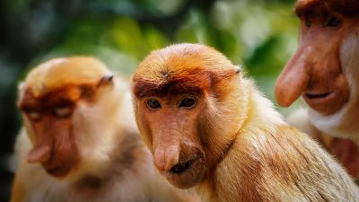 Nasenaffe / Proboscis monkey - Long nosed monkey