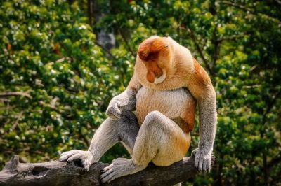 Nasenaffe (M) / Proboscis monkey - Long nosed monkey