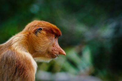 Nasenaffe (W) / Proboscis monkey - Long nosed monkey
