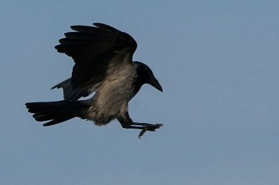 Nebelkrähe / Carrion Crow - Landeanflug!