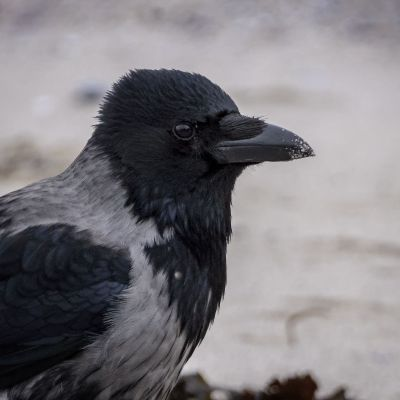 Nebelkrähe - Aaskrähe / Carrion Crow