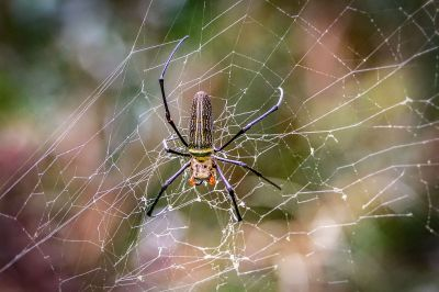 Nephila pilipes Seidenspinne (W) / Northern Golden Orb Weaver - Giant Golden Orb Weaver