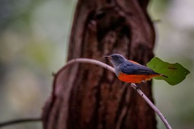 Orangebauch-Mistelfresser (M) / Orange-bellied Flowerpecker