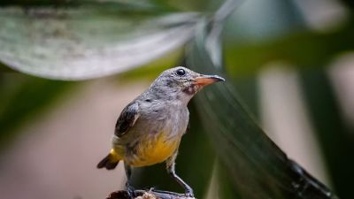 Orangebauch-Mistelfresser (W) / Orange-bellied Flowerpecker