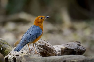 Damadrossel (M) / Orange-headed Thrush
