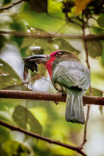Rotbartspint / Red-bearded Bee-eater