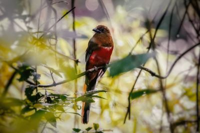 Rotkopftrogon (W) / Red-headed Trogon