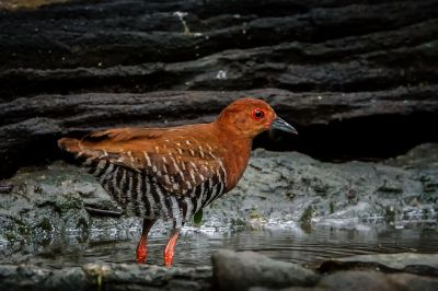 Malaienralle / Red-legged Crake