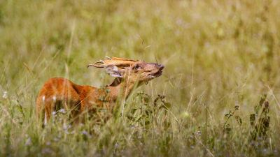 Indischer Muntjak (M) / Indian Muntjac - Red Muntjac - Barking Deer