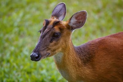 Indischer Muntjak (W) / Indian Muntjac - Red Muntjac - Barking Deer