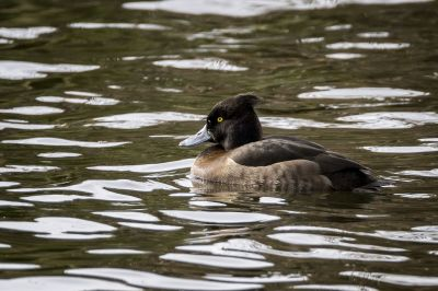 Reiherente (W) / Tufted Duck
