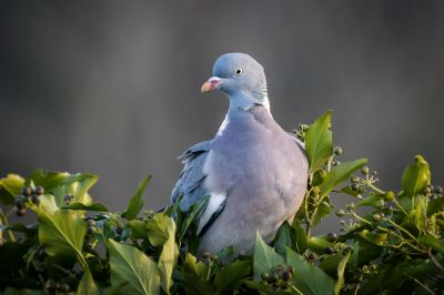 Ringeltaube / Common wood pigeon