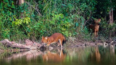 Rothund - Asiatischer Wildhund / Dhole - Asiatic wild dog - Indian wild dog - Whistling dog - Red wolf