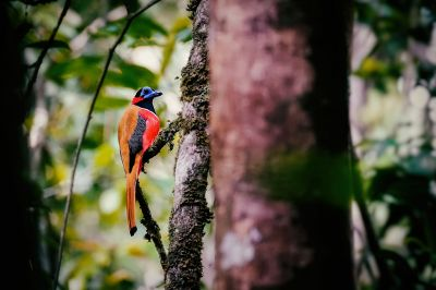 Rotnackentrogon (M) / Red-naped Trogon
