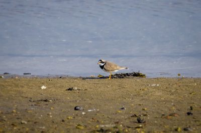 Sandregenpfeifer / Common Ringed Plover