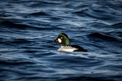Schellente (M) / Common Goldeneye
