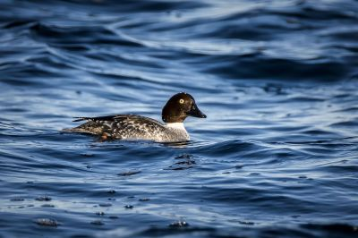 Schellente (W) / Common Goldeneye
