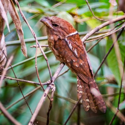 Schuppenfroschmaul / Gould's Frogmouth