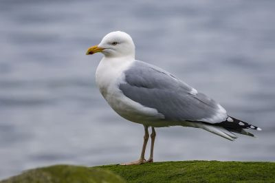 Silbermöwe / European Herring Gull