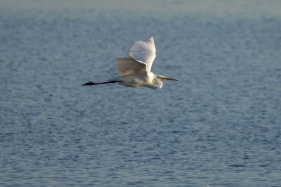 Silberreiher / Great Egret