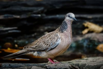 Perlhalstaube / Spotted Dove