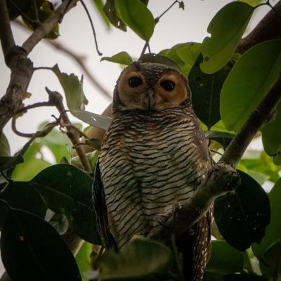 Pagodenkauz / Spotted Wood-owl