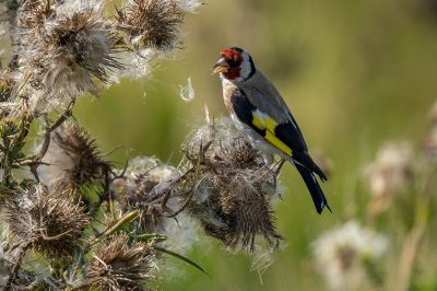Stieglitz - Distelfink / European Goldfinch