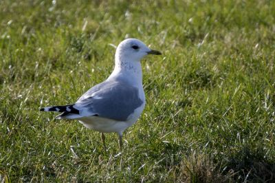 Sturmmöwe / Common Gull