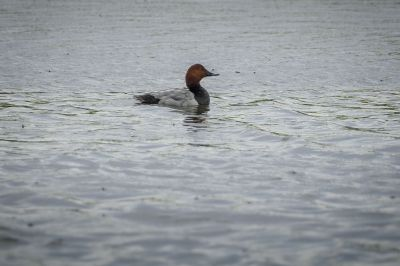 Tafelente / Common Pochard