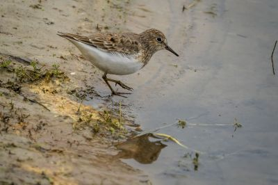 Temminckstrandläufer / Temminck's Stint