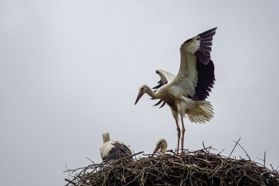 Weißstorch (Juv) / White Stork