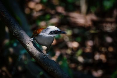 Weißhaubenhäherling / White-crested Laughingthrush