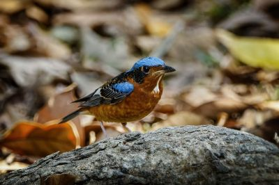 Amurrötel (M) / White-throated Rock-thrush