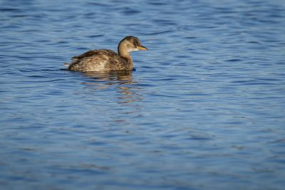 Zwergtaucher / Little Grebe