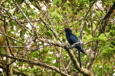 Indischer Koel (M) / Asian Koel - Common Koel