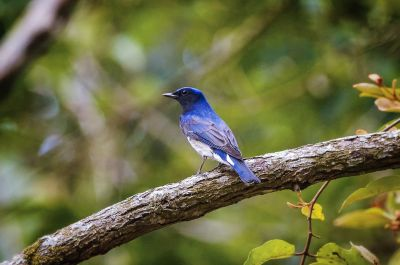 Blauschnäpper - Japanschnäpper (M) / Blue-and-white Flycatcher