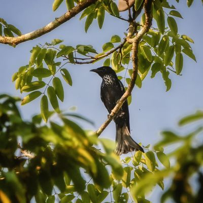 Haarbuschdrongo - Glanzfleckdrongo / Hair-crested Drongo - Spangled Drongo