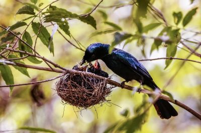 Spateldrongo (W/J) / Lesser Racket-tailed Drongo