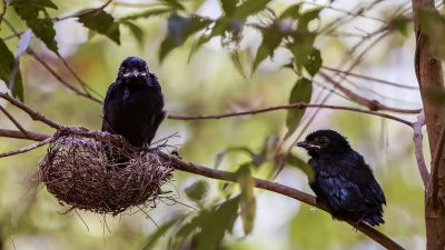 Spateldrongo (J) / Lesser Racket-tailed Drongo