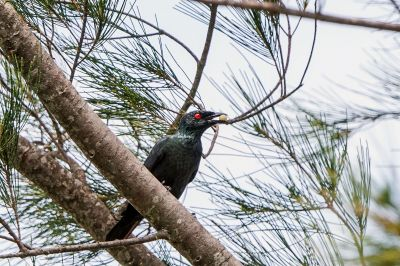 Malaienstar / Asian Glossy Starling