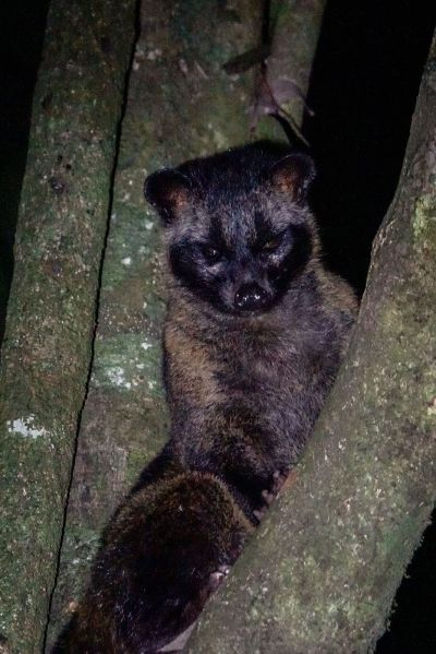 Fleckenmusang / Asian palm civet