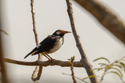 Elsterstar / Asian Pied Starling
