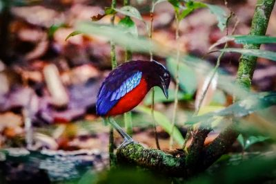 Schwarzrote Pitta / NEAR THREATENED