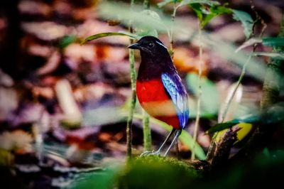 Schwarzrote Pitta / Black-and-Crimson Pitta - Black-headed Pitta - Black-crowned Pitta