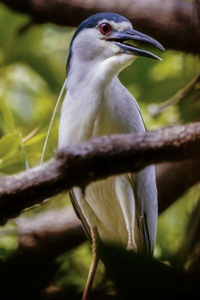 Nachtreiher / Black-crowned Night-heron