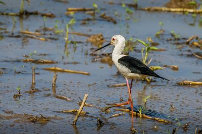 Stelzenläufer / Black-winged Stilt