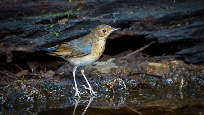 Blaunachtigall (M - 1. Winter) / Siberian Blue Robin