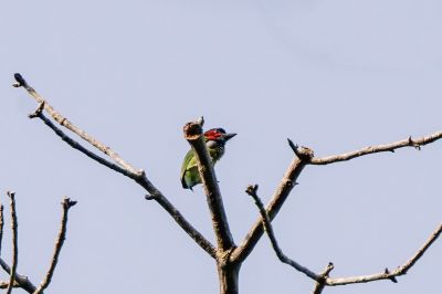 Blauohr-Bartvogel (duvaucelii) / Blue-eared Barbet