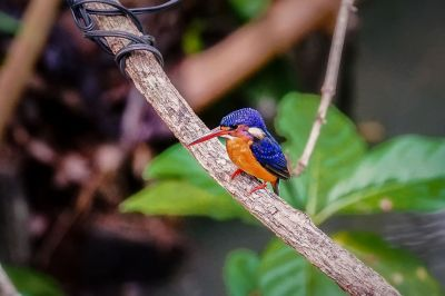 Meninting-Eisvogel / Blue-eared Kingfisher