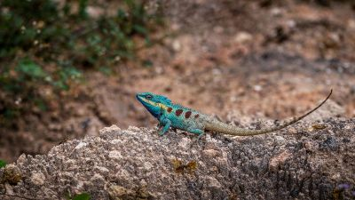 Blaukopf Calotes / Blue-crested lizard - Indo-Chinese bloodsucker - Indo-Chinese forest lizard - White-lipped calotes - Blue forest lizard